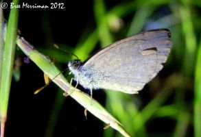 Grass-Blue Butterfly II by BreeSpawn