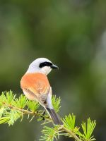 A beautiful bird by corsuse