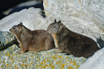 Ground Squirrel Pair by DracoFeathers