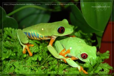 Maroon Eyed Tree Frog Pair by theperfectlestat