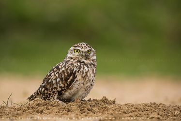 Burrowing Owl by linneaphoto