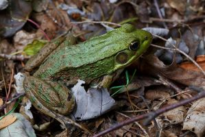 Green Frog by BlackRoomPhoto