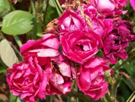 Cabbage Roses by meljoy68