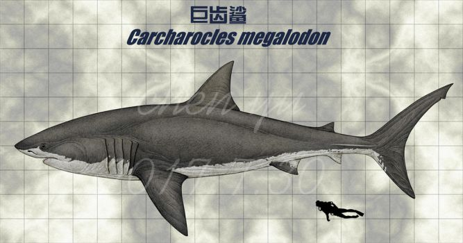Carcharocles megalodon by sinammonite