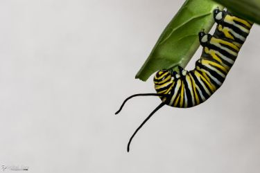 Monarch caterpillar eating by CyclicalCore