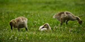 Baby Geese by robertllynch