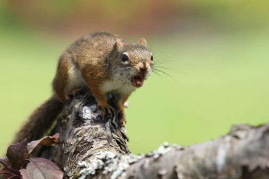 Screaming Squirrel by aurionPhoG
