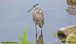 9434 Great Blue Heron by wtsecraig