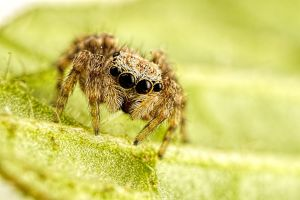 Little Jumping Spider by dalantech