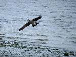 Canadian Goose Banking Past by wolfwings1