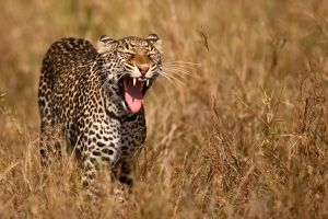 Leopard 20 by catman-suha