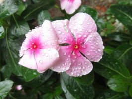 Water Droplets on Pink Flowers by ShipperTrish
