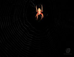 Spotted Orb Weaver by leopardwolf