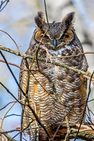 Great Horned Owl 005 by Elluka-brendmer