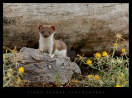 Weasel by Timur76