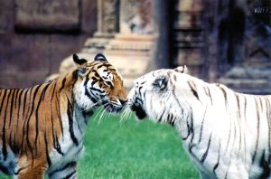Kissing Tigers by wolffsart