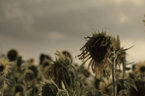 Ending sunflower by Schuemmel