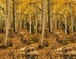 3D Stereo Birch Forest 2 by wolfnipplechips