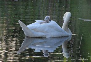 Swan mother with child by MT-Photografien