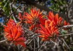 Flame Tree by TarJakArt