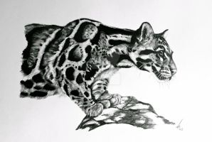 Clouded Leopard by salt25