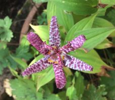 Toad Lilly by Sia-the-Mawile