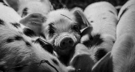 Piglets by solair