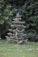 Blue spruce (Picea pungens) by Shiilla