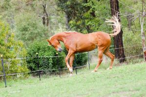 Tb neck arched prancing by Chunga-Stock