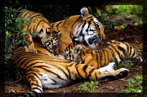 tiger family by miezbiez