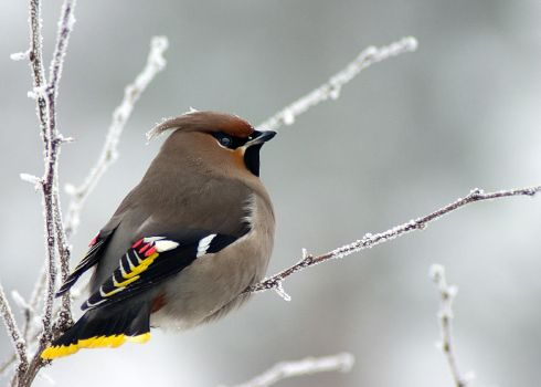 Waxwing by mv79