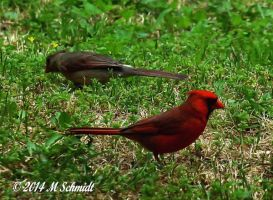 Male And Female Cardinal May 2014 by MSchmidtProductions