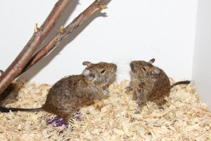 Degu Stock 1 of 10 ~ Males by Lovely-DreamCatcher