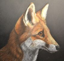 Red Fox by CrispetyCrunch