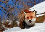 Fox in the Snow 5 by FarStar90