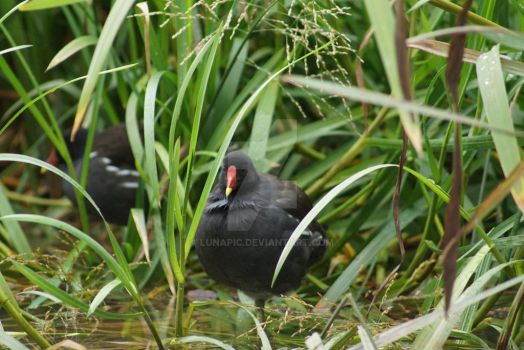 Moorhen waterbird by Lunapic