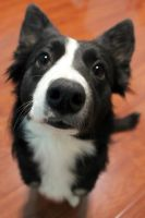 Pwincess the Border Collie by ChocoFoxie