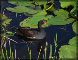 Common Moorhen 40D0000924 by Cristian-M
