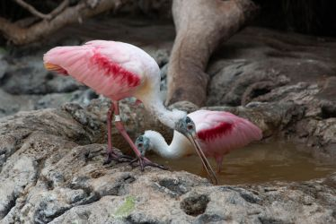 Pink spoonbills by Ankh-Infinitus