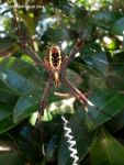 St Andrews Cross Spider III by BreeSpawn