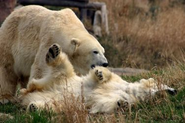 polar bears. by yellohbrd
