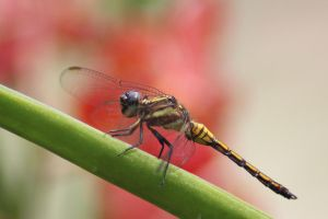 Dragonfly Stock 04 by Malleni-Stock