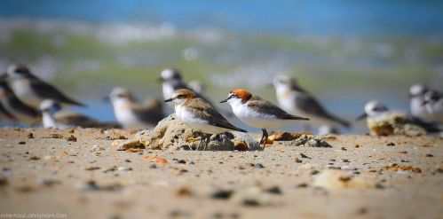 Red-Capped Plovers by Mike-Kossi