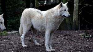 White Grey Wolf III by Track-Maidens