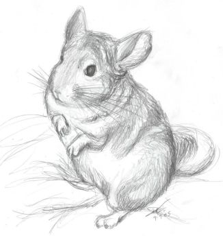 Chinchilla Sketch by chinchilla-madness