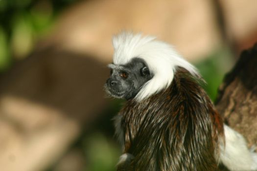 Cotton-top Tamarin by BlueW01f