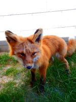 Kodiak Alaskan Red Fox Softmount SOLD by KaypeaCreations