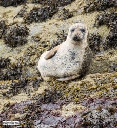 Seal poses on a rock by jaffa-tamarin