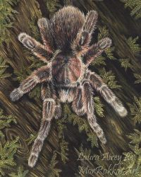 Rose Hair Tarantula Colored Pencils by MorRokko