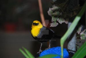 Black and Yellow Bird by oddjester